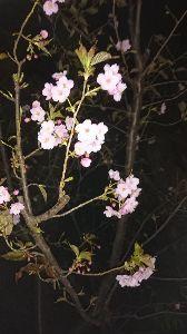 OO 自転車に乗ろう3 OO キクちゃんです、桜も段々綺麗になっていきますね🚲この間の写真は網走の港から取りました❗自分の休みは火