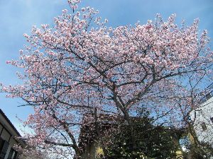 関東で、お友達欲しい~ 高尾山に行ってきました。。。さくらが咲いてました さくらまると申します。よろしくです