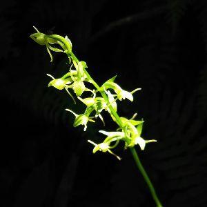 中高年単独行女性、この指トマレッ! アリドウシラン⁉ 日本にも知らない花が沢山あるんですね 多分凄く小さいのでしょうか 見つけてもわから