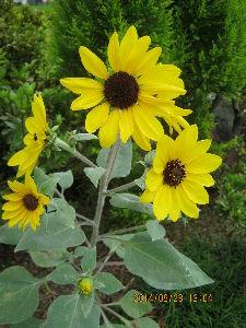 出会った (^0^)/ ありがとうございます  夕暮れが早くなったから困るね  種から育てた ひまわりですよ  花には、興味