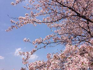 アビダンマについて 🌸🌸🌱  テルゼさんこんにちは  > そちらは、桜は如何なのかしら? > 未だかな、終わ