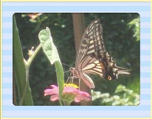 あれこれ暇潰しに・・・・・・・・ 猛暑日が続いて毎日が大変だ~・・・・・  庭の花の給水は夕方にしてタップリサービス・・・・  蝶も暑