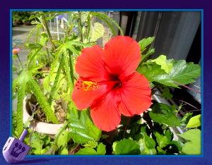 あれこれ暇潰しに・・・・・・・・ 遅れていたハイビスカスの赤が今朝開花・・・・  一年ぶりの再会でこれから暫く咲いて呉れそう・・・・