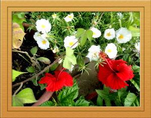 あれこれ暇潰しに・・・・・・・・ 連日猛暑が続き二週間ほど雨も無し・・・・・  給水の配慮をしながら健康管理が大変ですが  庭の花たち