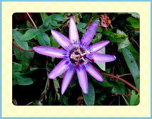 庭の花で四季を楽しむことに・・・ 台風の影響なのか朝から小雨模様の愚図付いた天気・・・  明日の夜辺りに当エリアに接近の予報が・・・