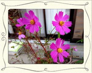 庭の花で四季を楽しむことに・・・ 今朝も風の冷たい厳しい冷え込み・・・  天気が下り坂模様で陽射しが無いので余計に寒い・・・  買い物