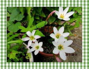 庭の花で四季を楽しむことに・・・ 暫らくぶりに蒸し暑い夏日に・・・  夜中に時たま小雨が降る程度で雨が降りませんね・・・  暑さの中元