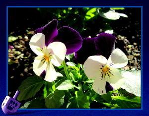 庭の花で四季を楽しむことに・・・ 陽射しのある快晴の上天気・・・  お出かけ日和ですが家内と買い物に・・・  休日のせいでかなりの混み