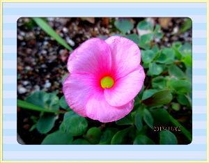 庭の花で四季を楽しむことに・・・ 陽射しが射しこみ暖かな日和に・・・  シニアクラブのグランドゴルフのクラブマッチ・・・  今日も34