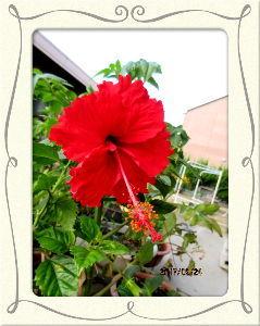 庭の花で四季を楽しむことに・・・ 陽射しが射してても吹き抜ける風が爽やかで  秋の気配を感じる過ごしやすい日和に・・・  昨日アユ釣り