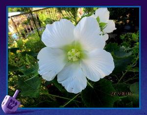 庭の花で四季を楽しむことに・・・ 台風一過爽やかな日和に・・・  澄み切った青空に心地よい風で気分爽快・・・  心配した庭の花も被害な