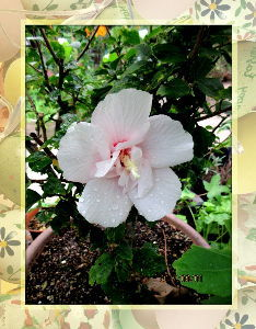 庭の花で四季を楽しむことに・・・ 朝から青空広がり暑い真夏日に・・・  まだしばらくは暑さは続きそうな予報・・・  ドライブ兼て里山ま