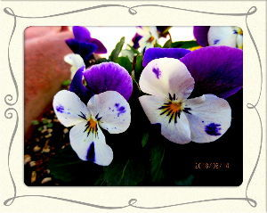 庭の花で四季を楽しむことに・・・  久しぶりに穏やかな小春日和に・・・  そのうち空っ風が吹き出すかも・・・  昨日雑用は片付けておい