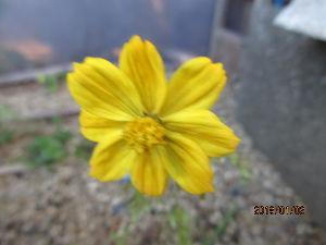 庭の花で四季を楽しむことに・・・ 正月早々連荘で青空広がる快晴に・・・  日中は風も治まり穏やかな小春日和に・・・  年末にまとめ買い