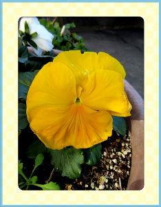庭の花で四季を楽しむことに・・・ 今日も穏やかな小春日和に・・・  早速布団干しを真っ先に・・・  暇つぶしに最寄りのスーパーまで買い