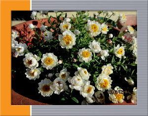 庭の花で四季を楽しむことに・・・ 名物の空っ風が今日は冷たいね・・・  陽射しも弱いので気温が上がらない・・・  出かける予定もないの