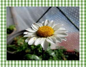 庭の花で四季を楽しむことに・・・ 終日冷たい空っ風が吹き荒れた立春でした・・・  陽射しがあるので風の当たらない庭の花は元気・・・