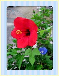 庭の花で四季を楽しむことに・・・ 梅雨時のような不安定な曇り空・・・  湿度も気温も高く蒸し暑い夏日だね・・・  年金支給日で早速家内