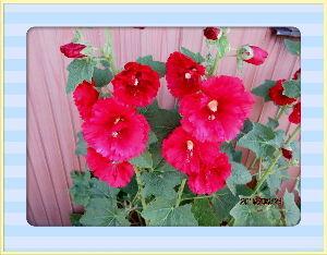 庭の花で四季を楽しむことに・・・ 陽射しの強い少々蒸し暑い夏日に・・・  夜半に雨が降ったので庭の花には給水不要・・・  種まきした様