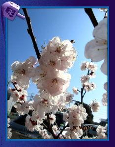 庭の花で四季を楽しむことに・・・ 今日も日中は汗ばむほどで四月の陽気・・・  まだ寒暖の差が酷い日が続いてるね・・・  近所周辺をデジ