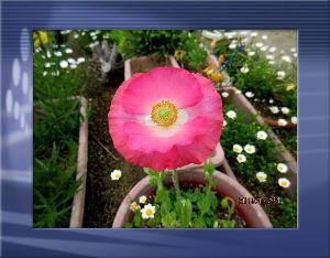 庭の花で四季を楽しむことに・・・ 朝から下り坂の天気で陽射し無し・・・  何時降り出すか解らない不安定な空・・・  庭の花が今日も賑や