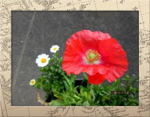 庭の花で四季を楽しむことに・・・ 連日陽射しが射しこみポカポカ陽気に・・・  今日も室温が20まで上がるほどの暖かさ・・・  庭の花た