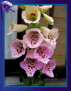 庭の花で四季を楽しむことに・・・ 爽やかな風が吹き抜ける初夏の陽気に・・・  薄曇りの空ですが燕が元気に飛び交う姿が良いね  庭の花も