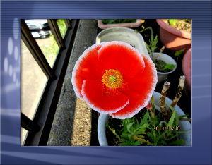 庭の花で四季を楽しむことに・・・  蒸し暑さが気になる夏日に・・・  午前中は爽やかな風が吹いて快適な日和でしたが  夕方には曇り空に