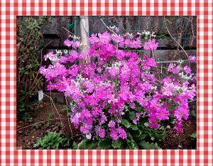 庭の花で四季を楽しむことに・・・ 冷たい強風が吹き荒れましたが  今日やっと風も治まり午後から陽射しが・・・  予報では明日からは少し