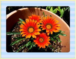 庭の花で四季を楽しむことに・・・ 今朝は少々風の冷たさを感じましたが  午後になり気温も上がり心地よい日和に・・・  家内が右足の膝の