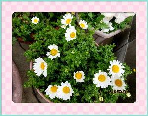 庭の花で四季を楽しむことに・・・ 終日不安定で風の冷たい日和・・・  今夜辺り雨が降りそうな気配だね・・・  久しぶりに炬燵の番人でコ