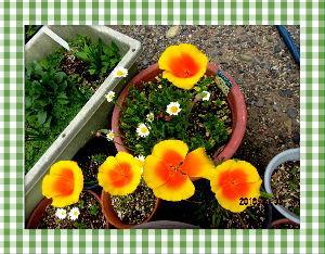 庭の花で四季を楽しむことに・・・ 午後になり小雨模様の愚図付いた天気に・・・  久々の雨に庭の花たちには恵みの雨だね・・・  新たな花