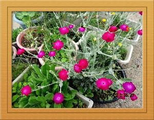 庭の花で四季を楽しむことに・・・ 陽射しが弱いのに気温が高く蒸し暑い夏日に・・・  久しぶりに里山まで湧水を取りにドライブ・・・  2