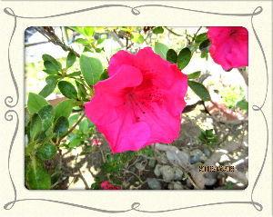 庭の花で四季を楽しむことに・・・ 陽射しが弱く気温上がらず風が冷たい・・・  逆戻りしたような小寒い日和・・・  暇つぶしにスーパーま