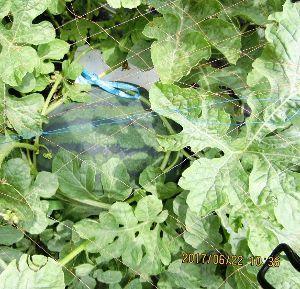 PC初心者の気楽な話し からからのお天気でしたが畑には恵みの雨でした。 大きく育ってきた西瓜が一気に膨らんだような気がします