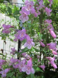 きらきらと。。。。。☆ こんちゃ♪ 晴れるかと思いましたが、曇りです! 今日は産直へ梅干し用の梅と紫蘇(揉んだ物)買いに行っ
