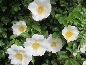 きらきらと。。。。。☆ おはようございます。  曇りですよ。昨夜は豪雨で凄い雨風の音でした。 折角付いた蕾の薔薇が心配でした