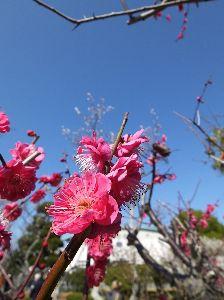 なんとなく写真貼付 梅の花の写真②