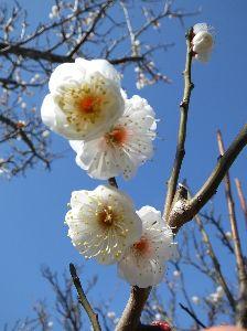 なんとなく写真貼付 梅の花の写真①