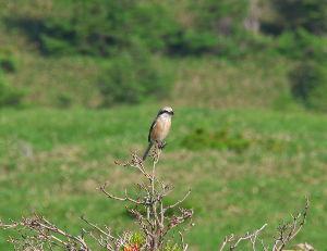 野草に関する情報をお寄せください! 鳥はホオアカです。高原には多いですね。 今日のはモズくん  bhtyt105さん >想像ですが茅野市