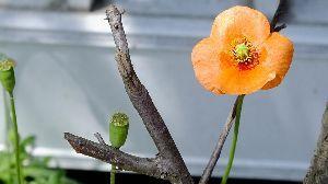野草に関する情報をお寄せください! 初夏の陽気になりました、暑いです。  ナガミヒナゲシが あちらこちらで咲いています、オレンジ色が綺麗