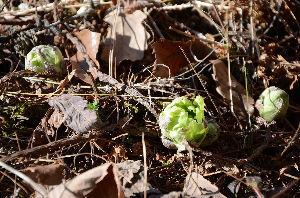 野草に関する情報をお寄せください! みなさんこんばんは、投稿内容が古いですがお許しください。 寒い所に住んでいますと、庭に「フキノトウ」