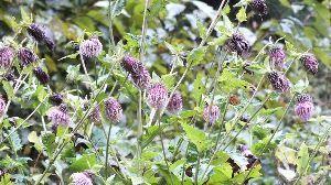 野草に関する情報をお寄せください! アザミの種類も多く 悩ましい。  この花は 有峰有料林道 水須連絡所 の近くで見つけました、細い道路