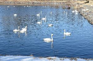 野草に関する情報をお寄せください! 今日気が付きましたが、この白鳥の中に「オオハクチョウ」と「コハクチョウ」がいるらしいですよ。