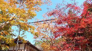 野草に関する情報をお寄せください! はなさん もみじ 綺麗ですね~ これぞ!紅葉 ですね♪  私の写真は 西隣 広島県三原市にあるお寺の