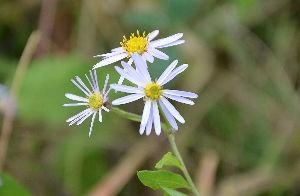 野草に関する情報をお寄せください! 近頃寒くなりなかなかお花に会えません散歩中に良いなと思ったお花を投稿します。 やさしいノギクが咲いて
