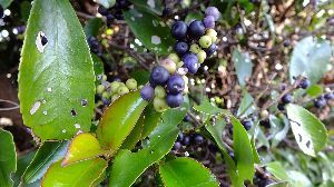 野草に関する情報をお寄せください! 寒くなりました。  年々 秋が短くなっているような そんな気がしています。  先日 墓地で見た青い実