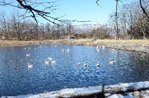 野草に関する情報をお寄せください! 昨日は天気が良かったので近くを散歩してきました。 農業用水地に白鳥がたくさん来ていました。