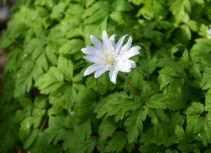 野草に関する情報をお寄せください! 同じ植物園でイチゲも咲いていました。