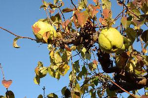野草に関する情報をお寄せください! 長野県御代田町の街路樹は「カリン」です。 大きな実が沢山出来ています。